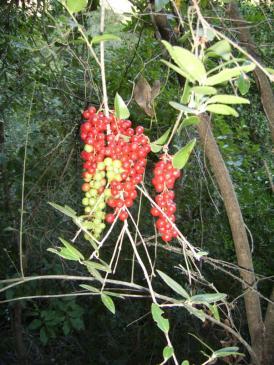 J5 2 dans la forêt le long du Tavulaghiu