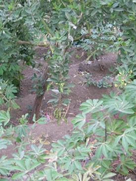 Petit pois sur arbre et manioc