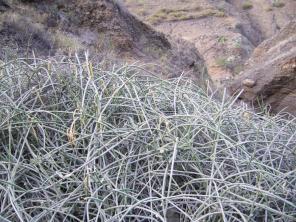 Sarcastemma daltonni ou cheveux de la montagne plante endémique
