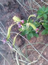 Echium Senosiphon plante endémique