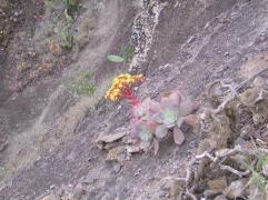 Aenium gorgoneum plante endémique